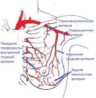 кровоснабжение молочной железы