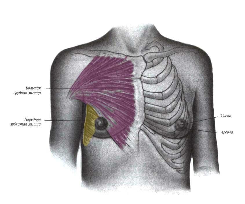 Мышцы грули