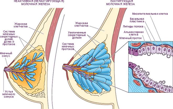 млечные протоки в молочной железе