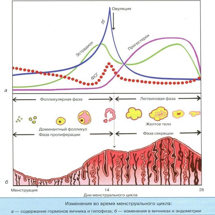 Изменения во время менструального цикла