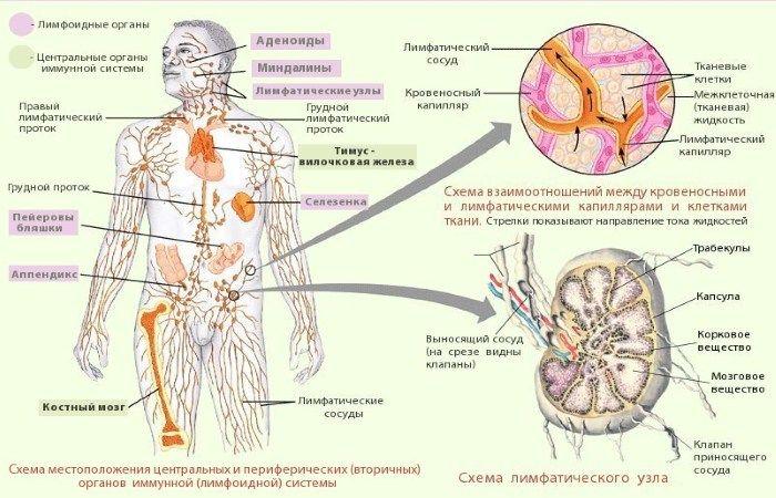 Лимфоидная система