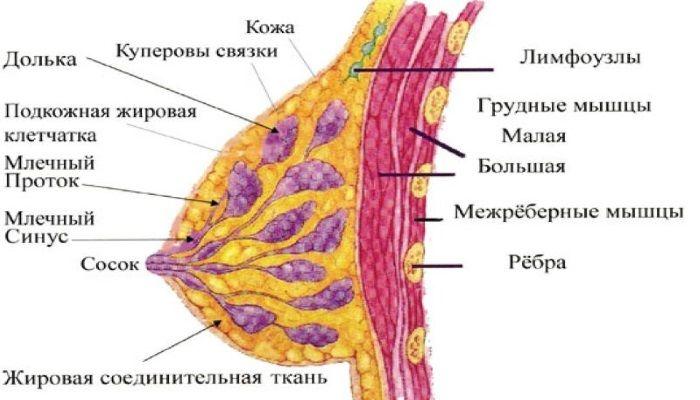 Строение молочных желез