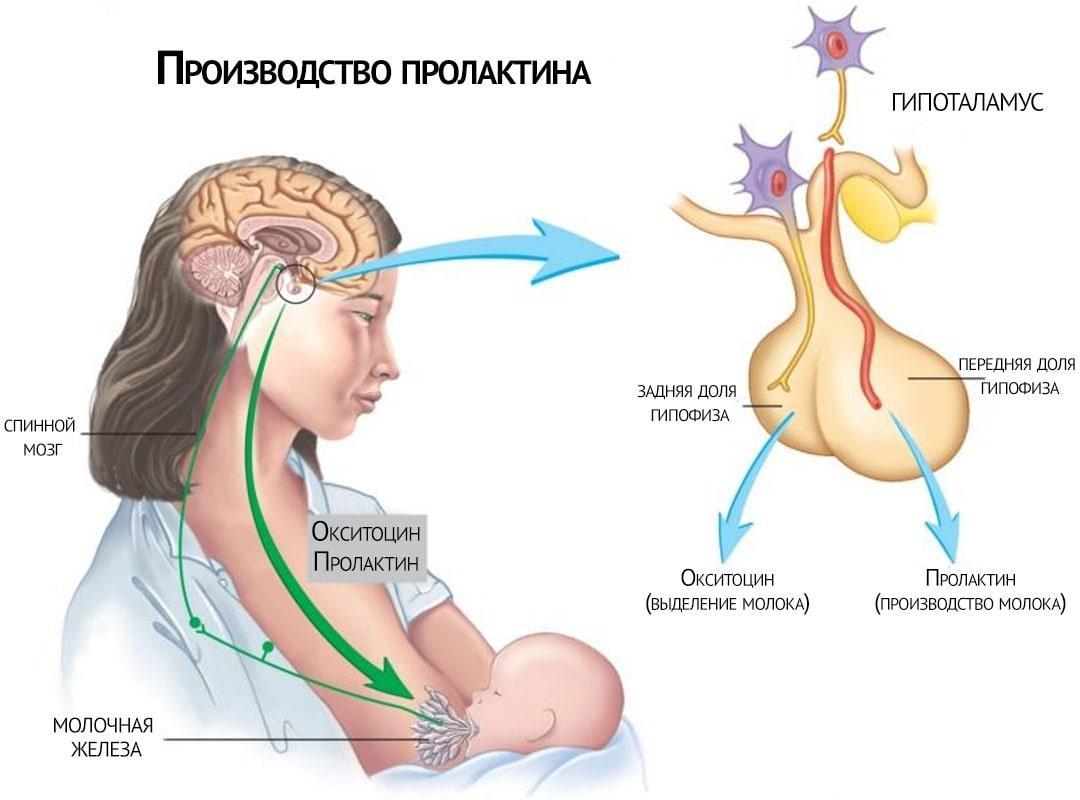 производство пролактина